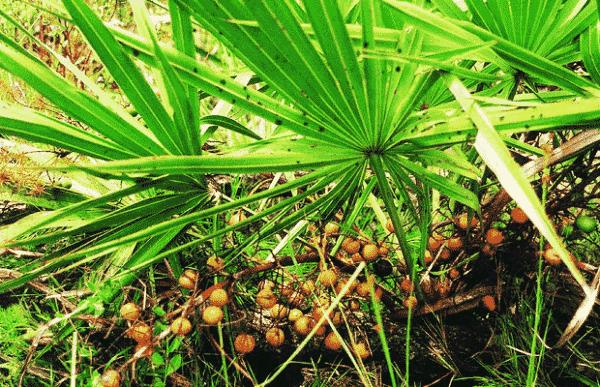 sawpalmetto palm leaves